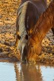 Лошади на водопое Стоковое Фото