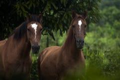 Лошади на крае джунглей, Белизе Стоковое Изображение RF