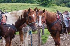 Лошади на прицепляя столбе Стоковые Изображения