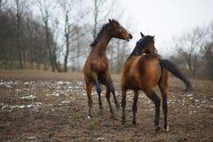 Лошади на лужке Стоковое Фото