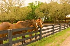 Лошади на ферме тренировки в ocala Стоковая Фотография