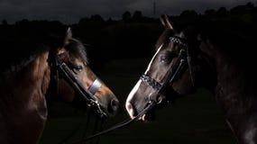 Лошади на черной предпосылке Стоковое Изображение
