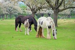 Лошади осленка и родителя Стоковое Изображение
