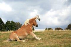 Лошади отдыхая на лужке. Стоковая Фотография