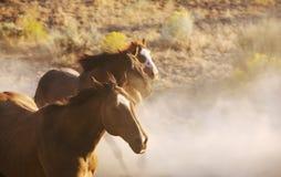 лошади одичалые Стоковое Фото