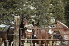 Лошади пакета Стоковая Фотография