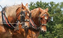 Лошади пары тяжелые в проводке Стоковая Фотография RF