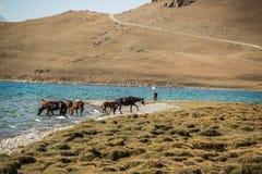 Лошади пасут вдоль озера Kol песни стоковая фотография rf