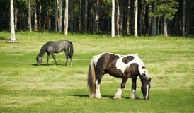 Лошади пася в краске выгона длинной с волосами Стоковое фото RF