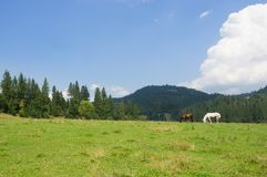 Лошади пася в луге Стоковое Фото