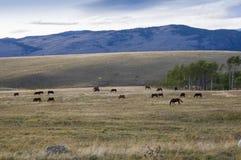 Лошади пася в холмах Стоковое Изображение RF