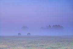 Лошади пася на выгоне в плотном тумане восхода солнца Стоковые Фотографии RF