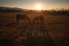 Лошади пася на заходе солнца Стоковое фото RF