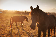 Лошади пася на заходе солнца Стоковое Изображение