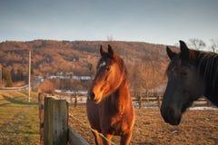Лошади пася на заходе солнца Стоковые Изображения