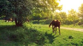 Лошади пася на зеленом луге на солнечный день Стоковое Изображение RF