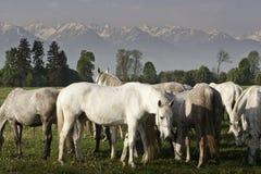Лошади пася Стоковая Фотография RF