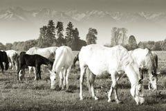 Лошади пася Стоковая Фотография