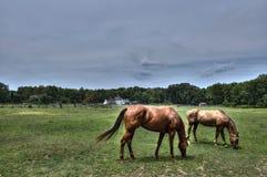 Лошади пася на ферме Мэриленда Стоковые Изображения RF