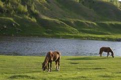 Лошади пася около воды Стоковая Фотография