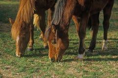 Лошади пася, река священника, ВНУТРИ стоковые фотографии rf
