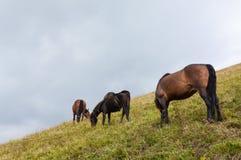 Лошади пася Стоковое фото RF