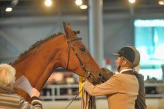 Лошади породы выставки Стоковые Фотографии RF