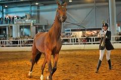 Лошади породы выставки Стоковое фото RF