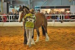 Лошади породы выставки Стоковые Изображения