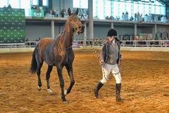 Лошади породы выставки Стоковое Изображение