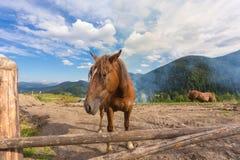 Лошади, подавая на траве на выгоне высоко-земли прикарпатском Стоковые Изображения RF