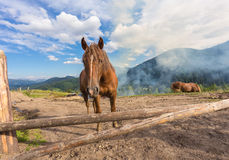 Лошади, подавая на траве на выгоне высоко-земли прикарпатском Стоковая Фотография RF