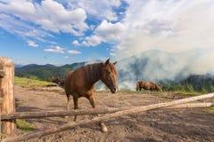 Лошади, подавая на траве на выгоне высоко-земли прикарпатском Стоковые Фото