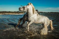 Лошади поднимая и сдерживая Стоковая Фотография