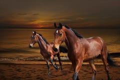 Лошади скача около воды на заходе солнца стоковая фотография rf