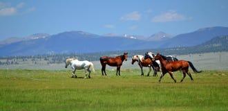 Лошади скалистой горы стоковое изображение rf