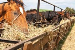Лошади стоя в стойле на ферме и едят Стоковые Фотографии RF