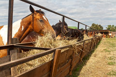 Лошади стоя в стойле на ферме и едят Стоковое фото RF