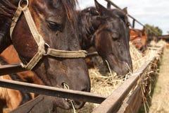 Лошади стоя в стойле на ферме и едят Стоковые Изображения RF