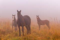 Лошади тумана луга осени стоковые фотографии rf