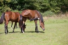 Лошади чумы насекомых Стоковое Изображение RF