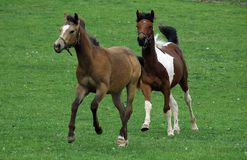 Лошади 129 Стоковые Изображения
