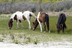 Лошади Assateague одичалые Стоковые Изображения RF