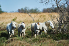 Лошади Camargue Стоковые Фотографии RF