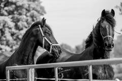 Лошади Frisian Стоковая Фотография