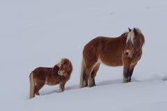 Лошади Haflinger, конематка и осленок, в лугах вполне снега Стоковые Фото