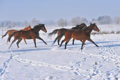 Лошади Hanoverian в зиме Стоковое Изображение