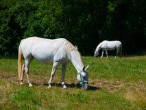 Лошади Lipizzaner Стоковое фото RF