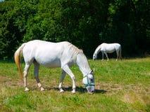 Лошади Lipizzaner Стоковые Фотографии RF