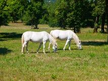 Лошади Lipizzaner Стоковое Изображение